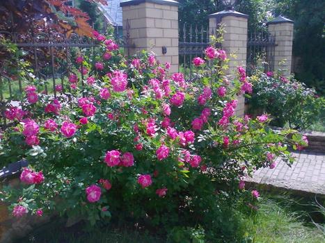 ждем уже роза плетистая уильям баффин выращивание в спб приложение Вконтакте
